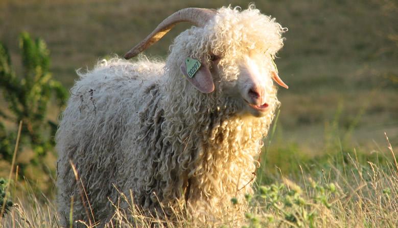0ca364e5d486 Mohair et laine Bergers Cathares de France   la douceur des fibres ...